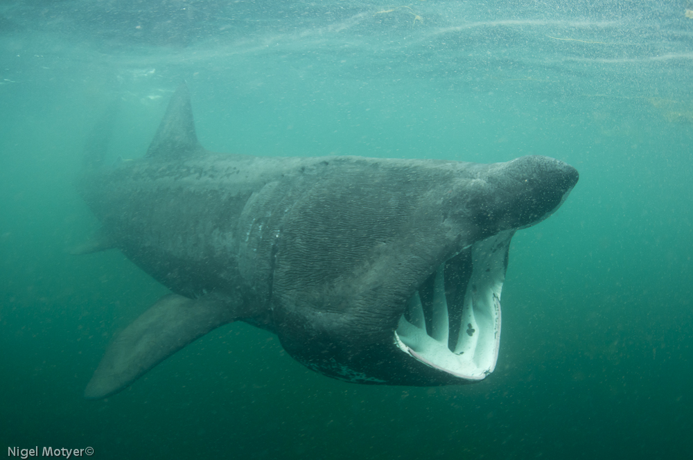 Inishowen Basking Shark Study Group Final Report 2011